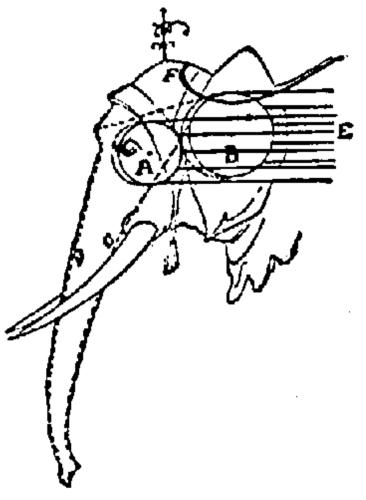 Diagram of the Elephant's Head